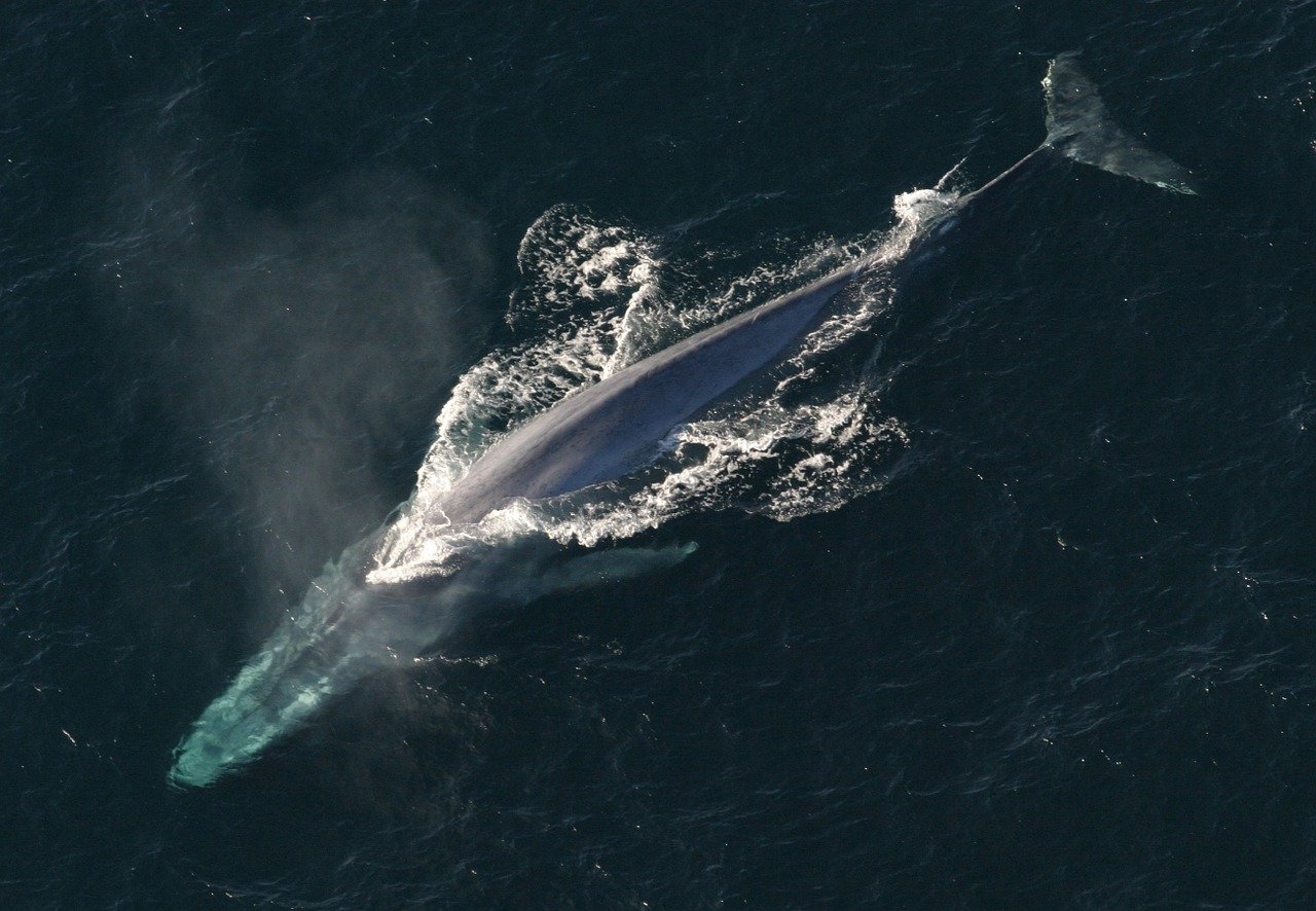 blue whale top 10 biggest animals in the world