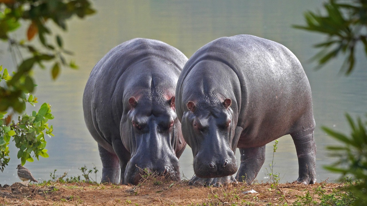 Hippopotamus largest animal in the world ever