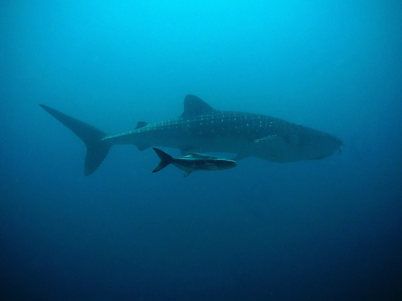 whale shark top 10 biggest animals in the world