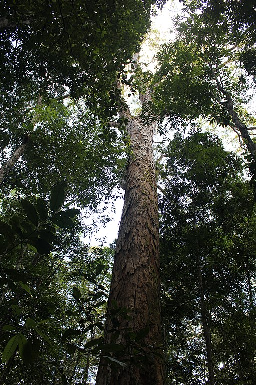 dinizia excelsa tallest trees in the world by species