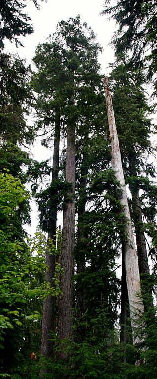 coast douglas fir
