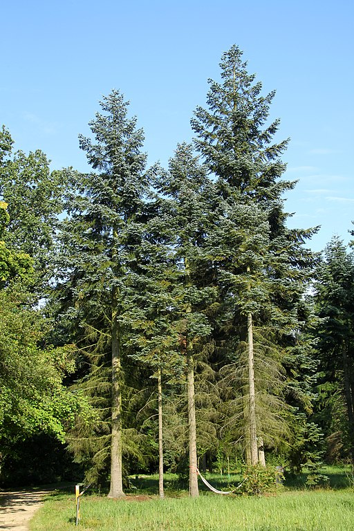 noble fir tallest trees in the world by species