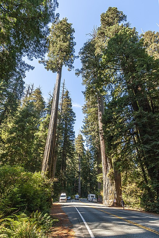 coast redwood tallest trees in the world by species