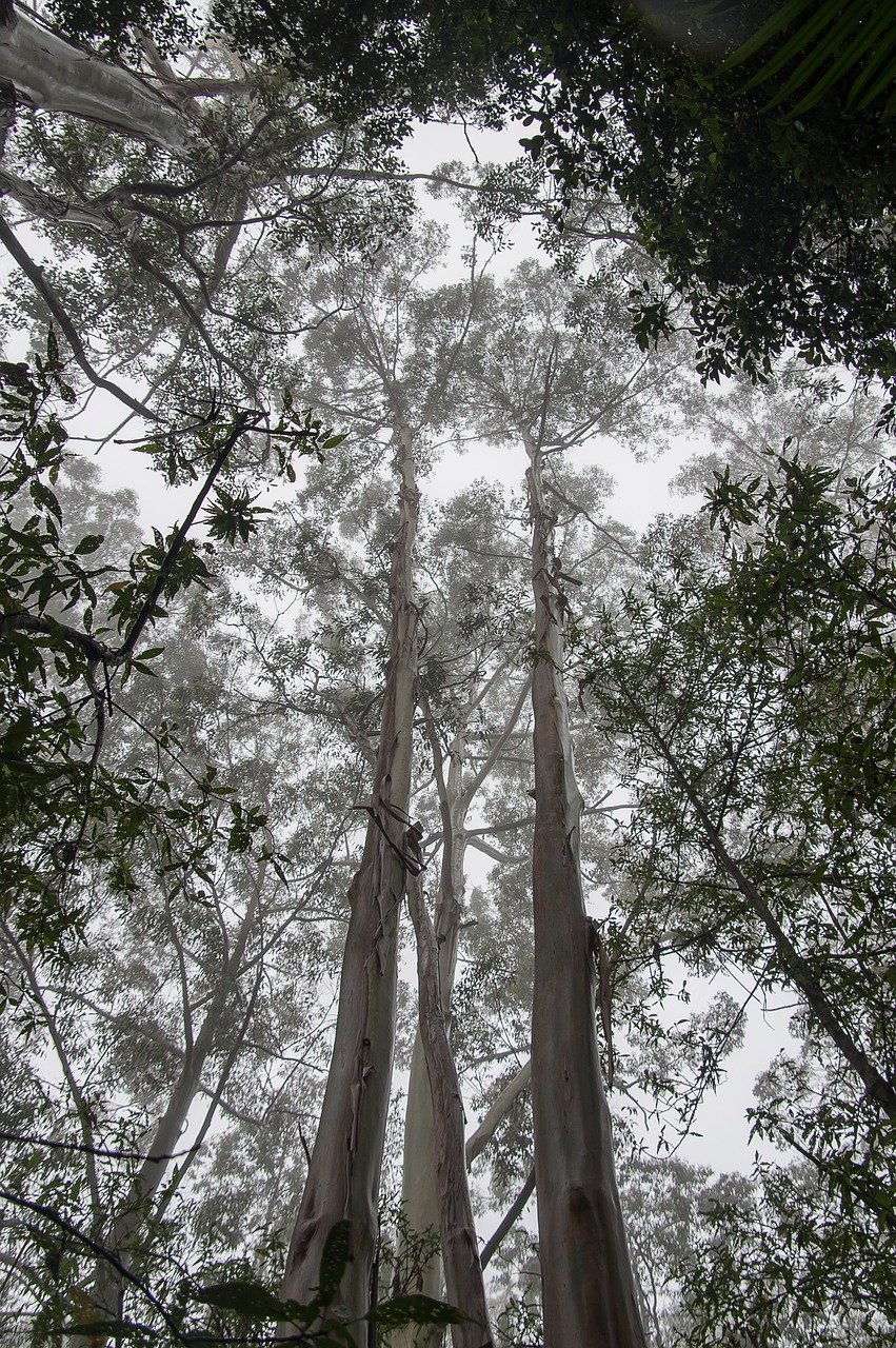 southern blue gum tallest trees in the world by species