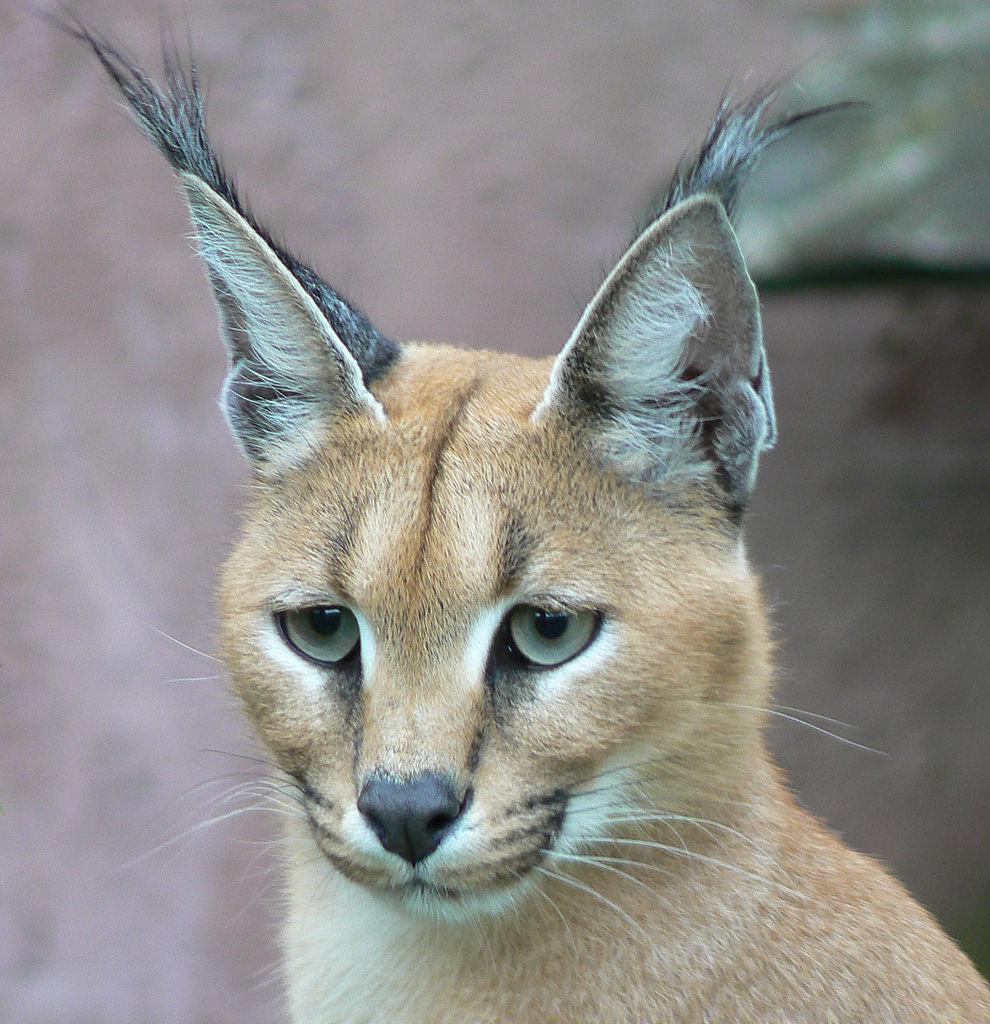 top 10 most beautiful animals in the world caracal