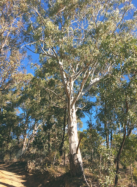 manna gum tallest trees in the world by species