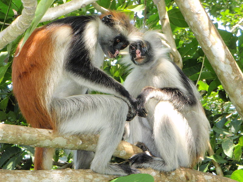 top 10 most beautiful animals in the world red colobus