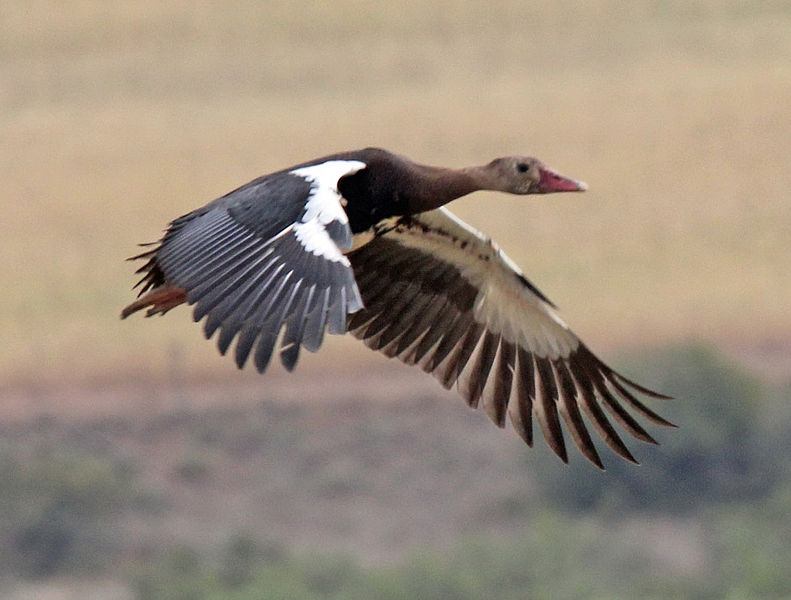 spur winged goose
