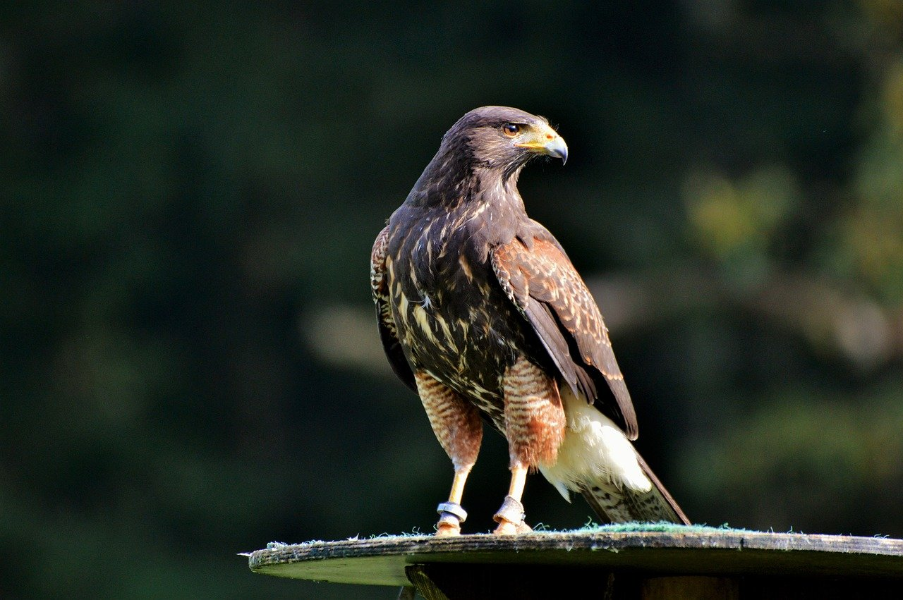 peregrine falcon maximum flying speed
